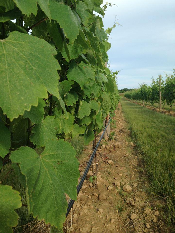 Jamesport Vineyards-1