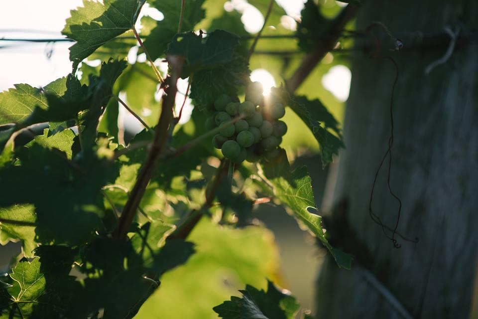 Jamesport Vineyards-4
